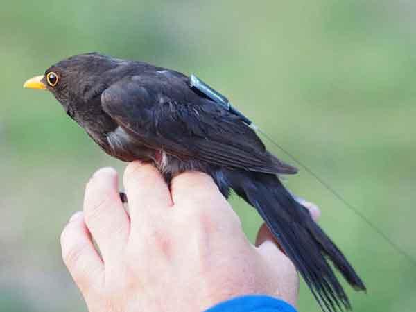 ردیاب پرندگان و حیوانات وحشی