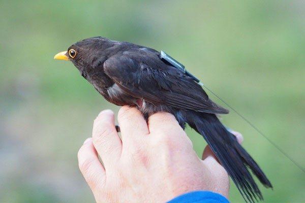 ردیاب خورشیدی، پرندگان خود را صدا بزنید